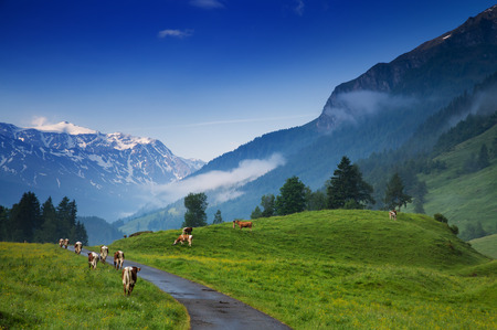 rauris: Cows grazing in alpine meadows. Morning at dawn in the Alps, Austria, Rauris. Amazing view on alpine village valley and mountains. Nature landscape Stock Photo