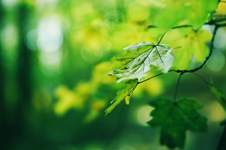 Green leaves of a maple in a sunny day in a forest