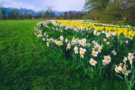 Campo de tulipanes y flores de narcisos en Arboretum, Eslovenia, Europa. Jardín o parque natural con montañas de los Alpes al fondo. Floración de primavera Foto de archivo