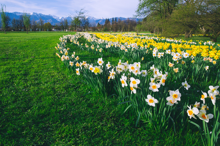 Tulip field and flowers daffodils in Arboretum, Slovenia, Europe.  Garden or nature park with Alps mountains on the background. Spring bloom 스톡 콘텐츠