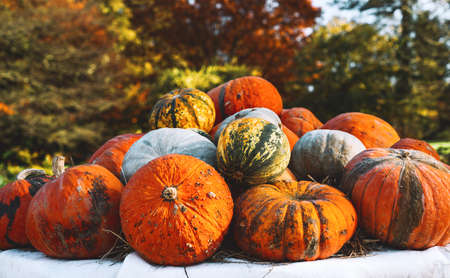 Autumn harvest colorful pumpkins and squashes in different varieties at farm market or seasonal festival. Background of decorative fall and winter squashes Standard-Bild
