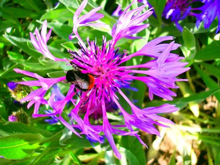 a big bee sitting on the flower eating it photo