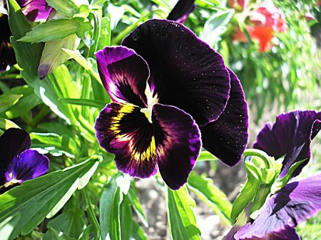 flamy: a violet flower of pansies
