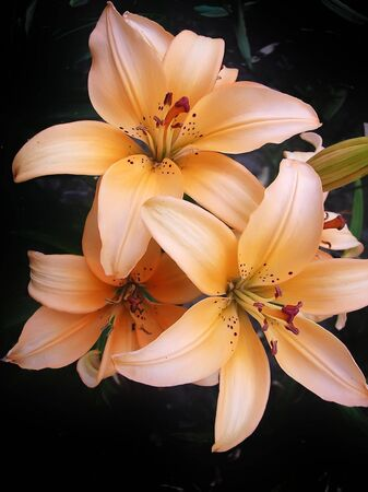 blosom: three orange, pink lilies against black background Stock Photo