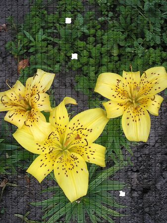 blosom: five white with yellow lilies against black background