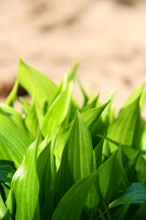 young springs of rgreen grassy leaves in the garden. photo