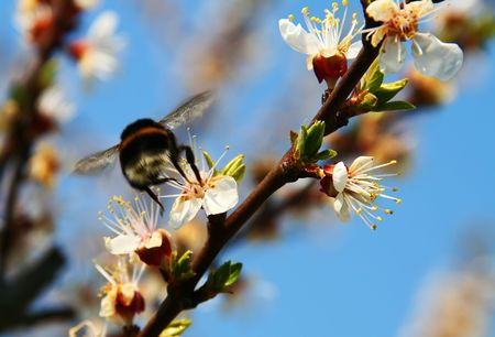 blosom: huge bumblebee in a flight on the apricot flower