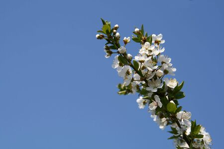 blosom: small branch of apricot tree with two flowers on it against blue sky