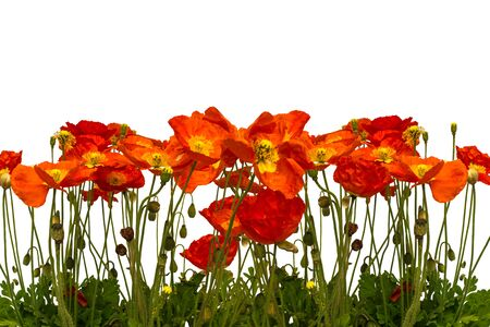 poppies: Line of red poppies isolated