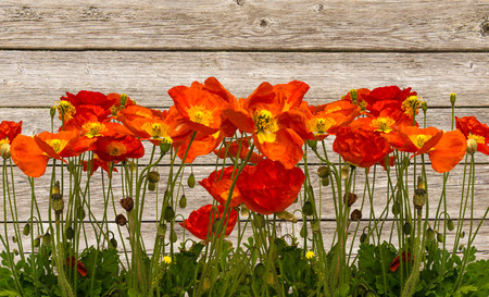 Line of red poppies on the wooden background