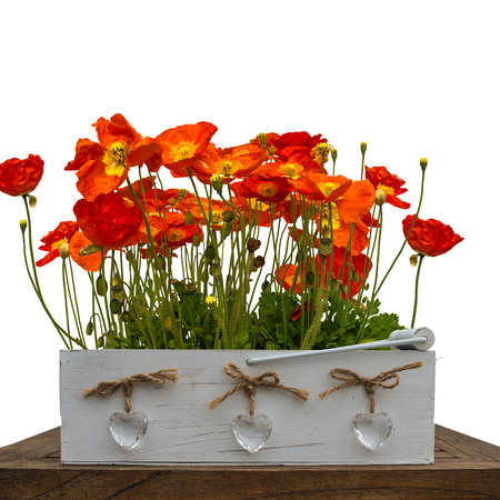 Red poppies on the isolated background