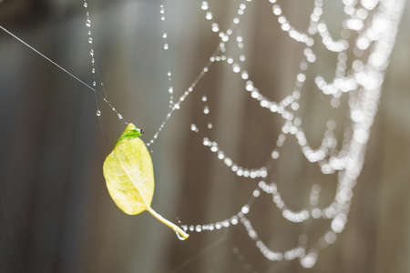 A small yellow autumn leaf stuck in a spider web. Large spider web with water drops. Raindrops in a blur. Beautiful bokeh background.