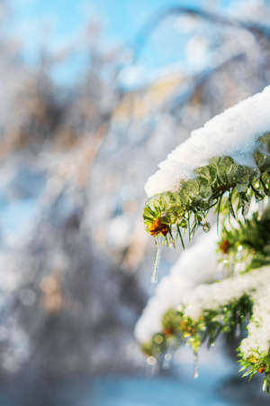 Fir branches are covered with sparkling snow and ice. Shiny icicles on a spruce tree. Cold frosty morning in Winter forest. Snowy scenes. Bright light of Winter. Natural background with copy space.