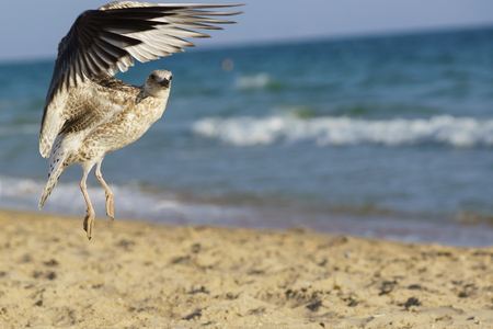 larus: Seagull (lat. Larus silver) on the beach