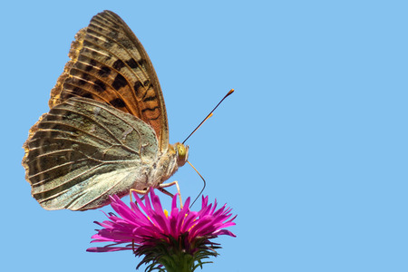 Butterfly Argynnis paphia on pink flower Aster