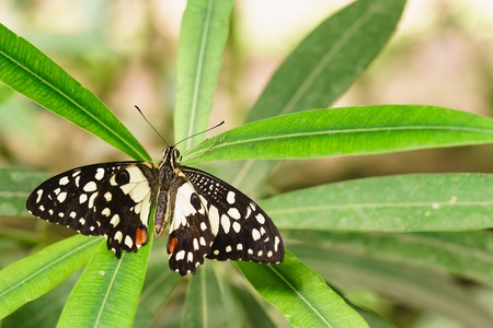 butterfly tail: Papilio Demodocus African or Lemon Papilio (Papilio demodocus)