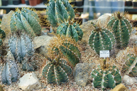 Astrophytum (lat. Astrophytum), or Star cactus, is a genus of spherical or cylindrical low succulents from the Cactus family, common in Northern Mexico and the southern United States.