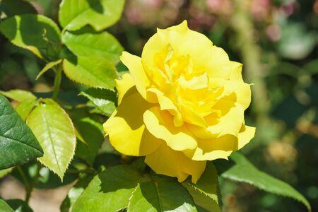 Yellow rose Floribunda Meilland Anthonie. Stock Photo