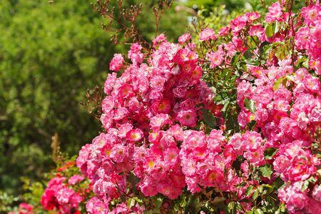 fair play: Lush blooming roses Groundcover Fair Play.