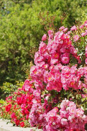 fair play: Bright rust roses Groundcover Fair Play.