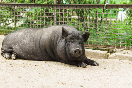Home adult pygmy pig or mini-pig, black in color Stock Photo