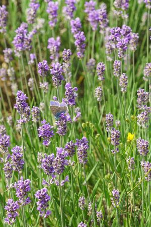 lycaenidae: Butterfly Polyommatus Icarus (lat. Polyommatus icarus) sitting on flowers of lavender (lat. Lavandula) Stock Photo