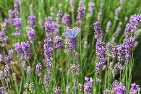 Butterfly Polyommatus Icarus (lat. Polyommatus icarus) sitting on blooming lavender (lat. Lavandula)