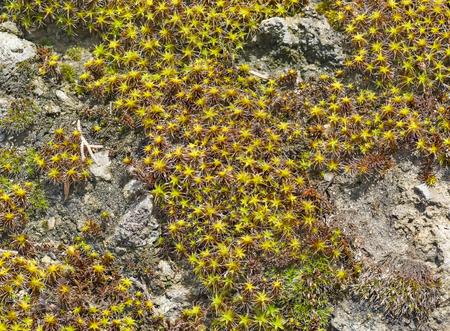 dioecious: Background of plants sentrie rural (lat. Syntrichia ruralis) on the rocks