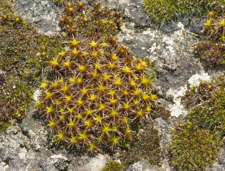 dioecious: Cintray rural (lat. Syntrichia ruralis) on the rocks