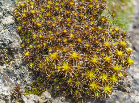 dioecious: Cintray rural (lat. Syntrichia ruralis) large