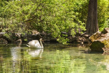 alupka: White Swan (lat. Cygnus) lonely swims in the pond. Yalta, Alupka, Crimea, Russia Stock Photo