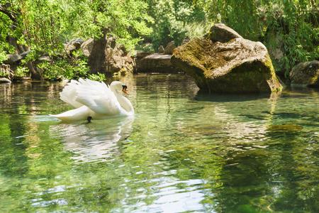 alupka: a Lone white Swan (lat. Cygnus) swimming in the lake. Yalta, Alupka, Crimea, Russia