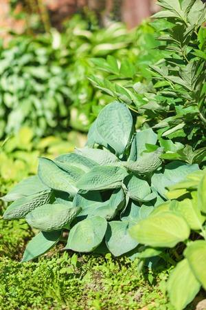 undemanding: Blue Hosta Siebold (lat. ?osta sieboldiana glauca) varieties of elegans at the flower garden Stock Photo