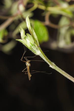 tipulidae: The mosquito dolgonogi, or karamora (lat. Tipulidae) on the shoot of clematis (lat. Clematis)