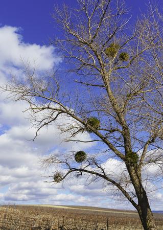 The tree with the parasitic plant Mistletoe (lat. Víscum)