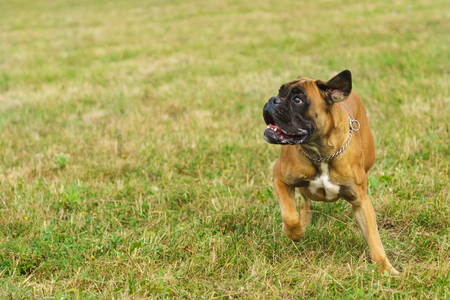 Young dog breed German boxer plays on the grass