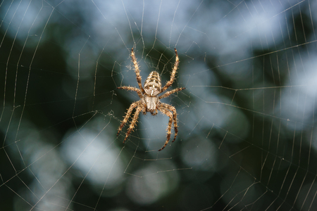 Spider garden-spider (lat. Araneus) is a genus of araneomorph spiders of the family of Orb-web spiders (Araneidae). Stock Photo