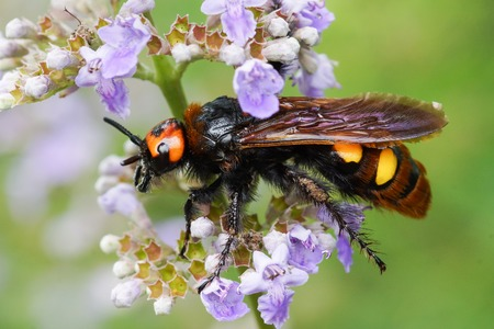Scola is a giant, or a spotted Scola (lat. Megascolia maculata = lat. Scolia maculata) is a species of large wasps from the family of scaly - on lavender flower. The largest representative of the order Hymenoptera in the fauna of Europe