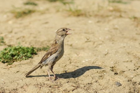 Young female house Sparrow (lat. Passer domesticus) in search of water on a hot summer day
