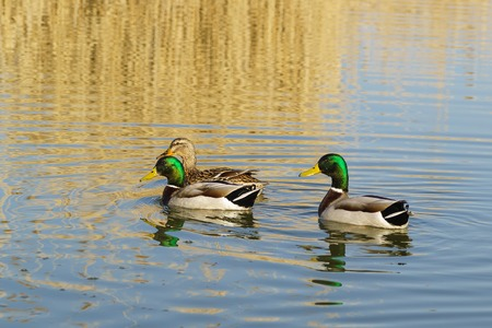A duck and two Drake (female and male) Mallard duck (lat. Anas platyrhynchos) is a bird of the duck family (Anatidae) detachment of waterfowl (Anseriformes) floating on the lake. The best known and most common wild duck