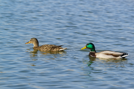 A duck and a Drake (male and female) of Mallard (lat. Anas platyrhynchos) is a bird of the duck family (Anatidae) detachment of waterfowl (Anseriformes). The best known and most common wild duck Stock Photo