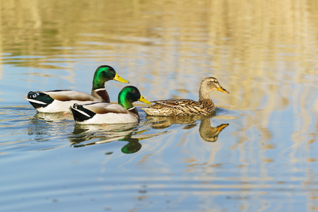 Two Drake and a duck males and female mallards (lat. Anas platyrhynchos), birds of the duck family (Anatidae) detachment of waterfowl (Anseriformes) is floating on the water. The best known and most common wild duck Stock Photo