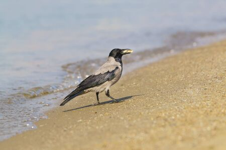 Grey crow (lat. Corvus cornix) with a piece of food is on the sandy shore along the sea. Blurred background