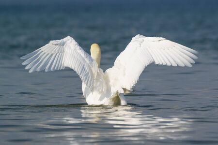 Beautiful white adult mute Swan (lat. Cygnus olor) on dark blue water, spread your wings