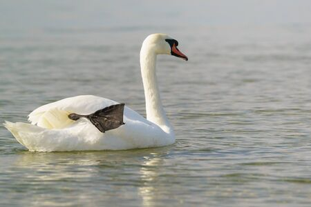 White adult mute Swan (lat. Cygnus olor) with a long neck dry black paw afloat