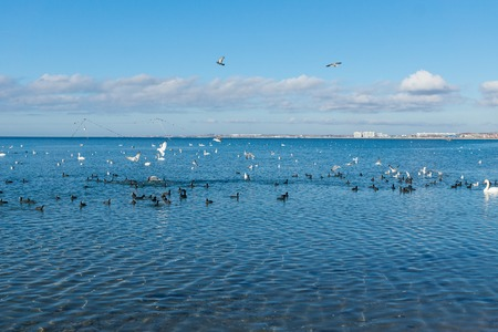A flock of birds Coots, or flats (lat. Fulica atra) and silver gull (lat. Larus argentatus), and mute Swan (lat. Olor Cygnus) wintering in the Black sea city of Anapa in Krasnodar Krai