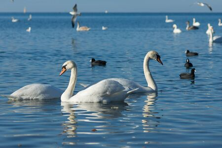 expanse: Birds Coot, or flatted (lat. Fulica atra) and silver gull (lat. Larus argentatus), and mute Swan (lat. Olor Cygnus) wintering in the Black sea city of Anapa in Krasnodar region. The blue expanse of water Stock Photo