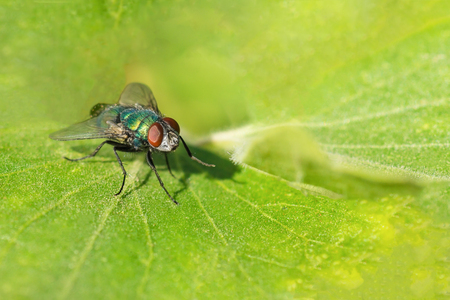 Emerald shiny dung fly (lat. Scathophagidae) on a green leaf