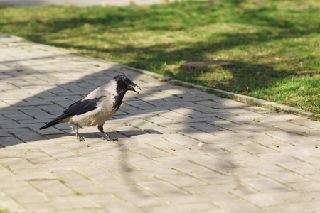corvus: Grey crow (lat. Corvus cornix) with production on track in a city Park Stock Photo