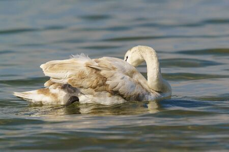 Young mute Swan (lat. Cygnus olor) with variegated color preening its feathers on the water Stock Photo
